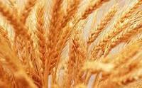 Озимая пшеница Сталева семена (элита)