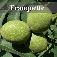 Саженцы ореха Франкетте (Frankette)  / Однолетний