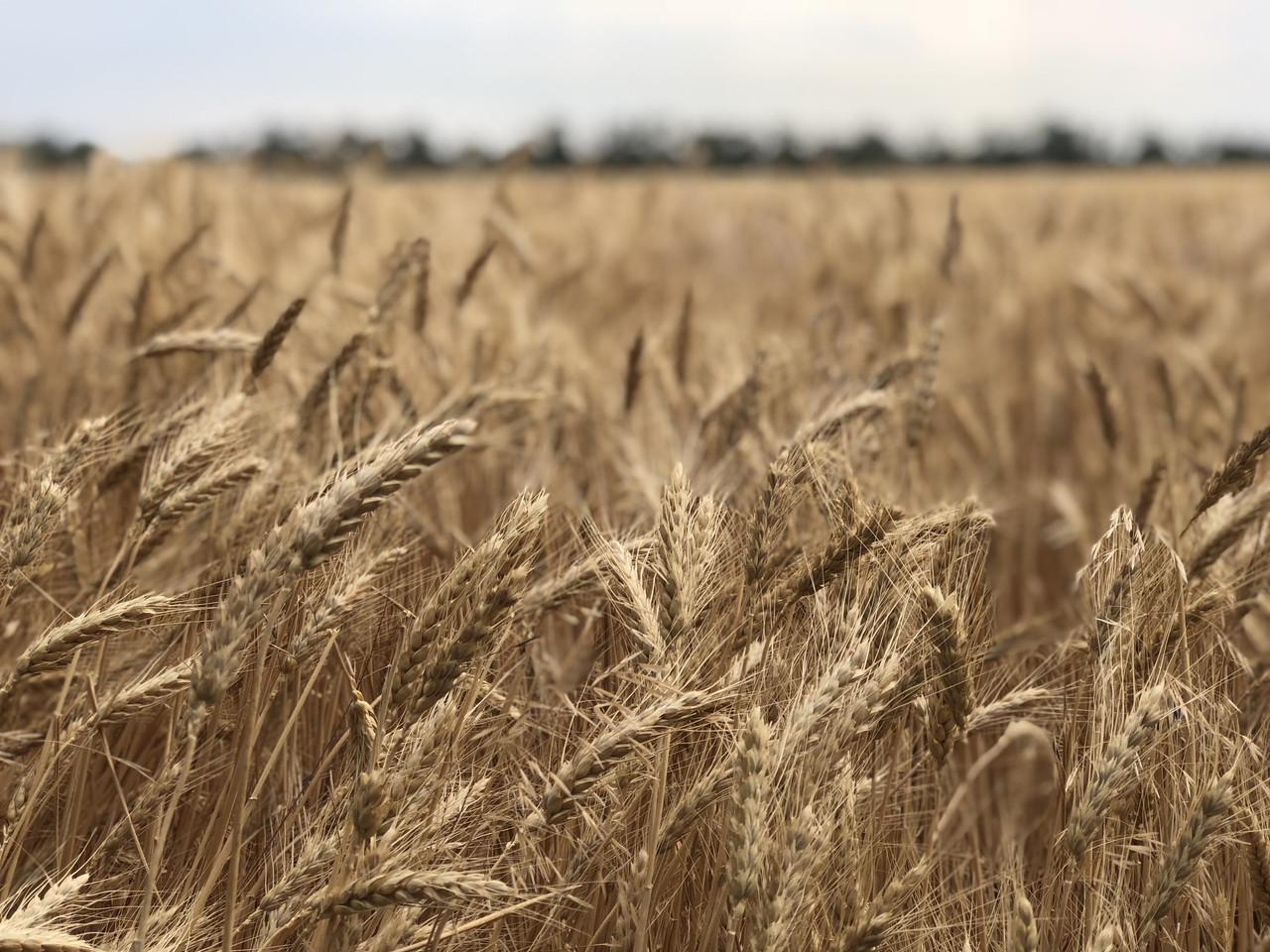 Сорта пшеницы озимой ЖУРАВКА ОДЕССКАЯ элита устойчива к экстремальной засухе