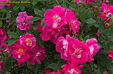 Роза William Baffin (Вільям Баффин)