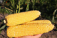 Кукуруза Мореленд F1 Syngenta 100000 семян