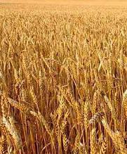 Семена озимой пшеницы Мудрость Одесская 1 репродукция