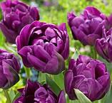 Тюльпан Negrita Double 11/ 12 новинка, фото 2