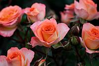 Саджанці троянд спрей Фієста Баблз (Fiesta Bubbles, Фиеста Баблс), фото 1
