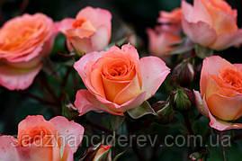 Саджанці троянд спрей Фієста Баблз (Fiesta Bubbles, Фиеста Баблс)