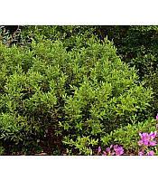"""Salix gracilistyla """"Melanostachys"""", Ива тонкостолбиковая черноколосовидная"""