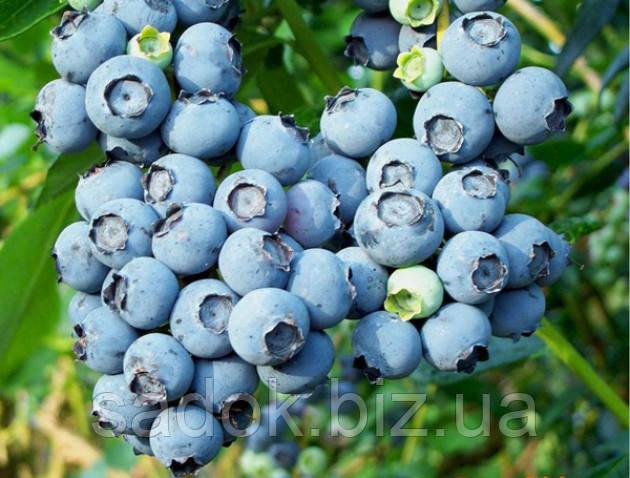 Блу Кроп(Bluecrop) 1,5-річні