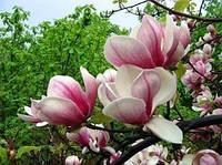 Магнолия «Суланжа» розовая