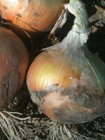 Поражение луковицы мучнистой росой