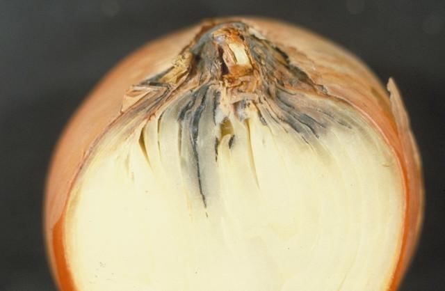 Поражение луковицы серой гнилью