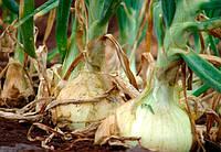 Борьба с болезнями репчатого лука
