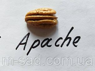 Пекан Apache (однолетний), фото 2