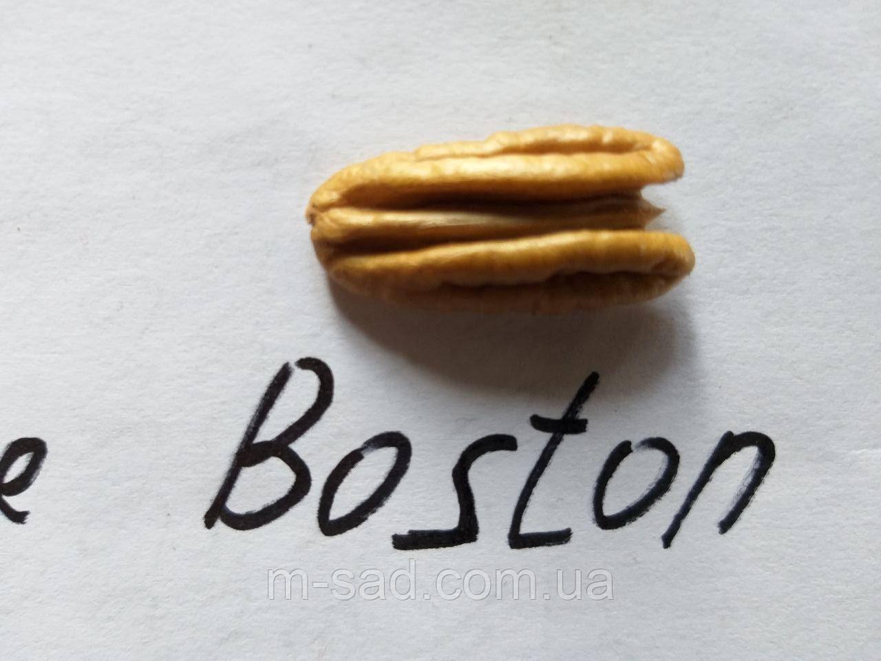Пекан Boston однолетний)