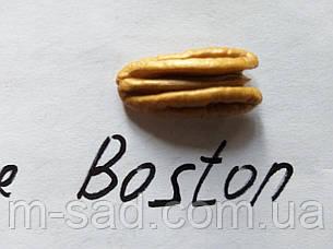 Пекан Boston однолетний), фото 2