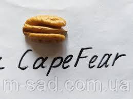Пекан Cape Fear (однорічний)
