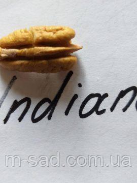 Пекан Indiana  (однолетний), фото 2