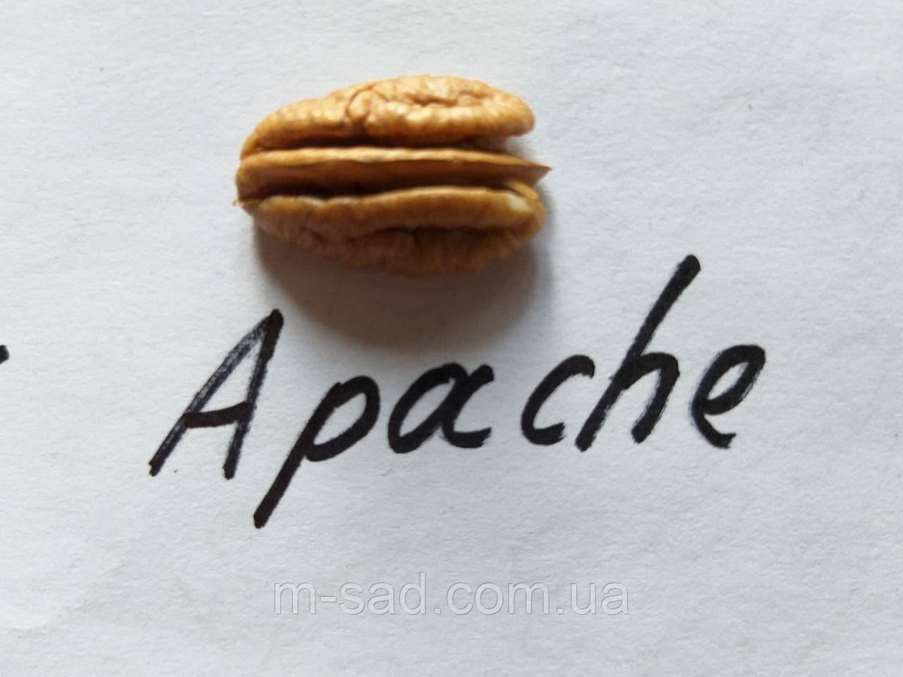 Саженцы Пекана Апаче (двухлетние)