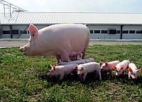 Племенные свиньи и хряки Крупная Белая