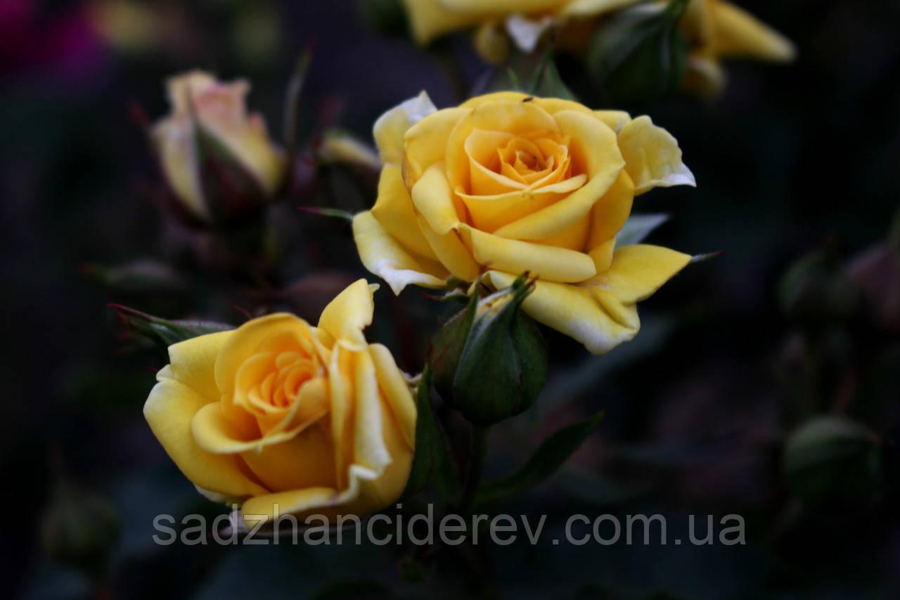 Саджанці троянд спрей Шані (Shani, Шани)
