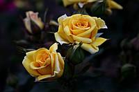 Саджанці троянд спрей Шані (Shani, Шани), фото 1
