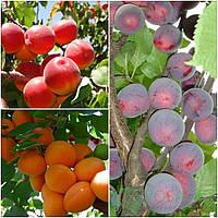 Дерево сад абрикос (Петропавловский,  Алыча колона)