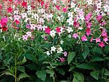 Семена табака душистого Арома 250 драже Kitano Seeds, фото 3