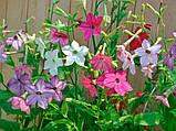 Семена табака душистого Арома 250 драже Kitano Seeds, фото 4
