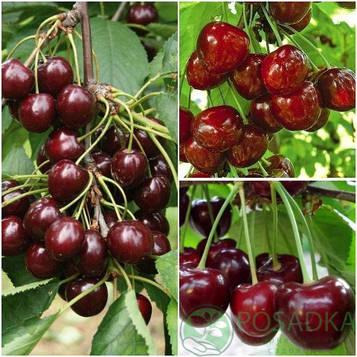 Дерево сад черешня (Бигаро Бурлат, Мелитопольская чёрная, )