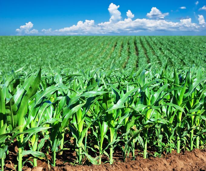 Позакореневе підживлення кукурудзи перед цвітінням