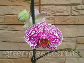Орхидея Фаленопсис ребристая Хеппи Мино