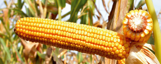 Семена кукурузы ЕС Гарант