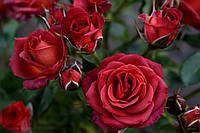 Саджанці троянд спрей Чокочіно (Chococcino, Чокочино), фото 1