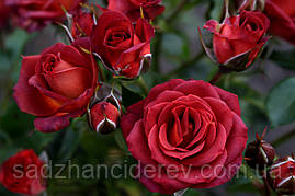 Саджанці троянд спрей Чокочіно (Chococcino, Чокочино)