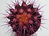 Кактус Реймбол Purple, фото 2
