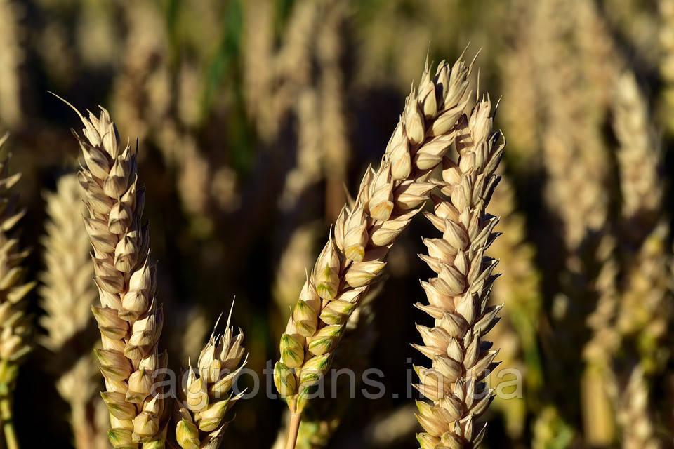 Озимая пшеница ГРОМ, 1 Репродукция