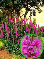 Дербенник иволистый Пурпурный   ( корневище) ( саженец)