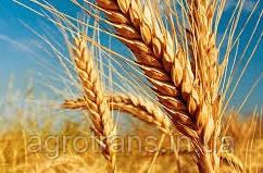 Озимая пшеница ТАНЯ (Оградская), Элита
