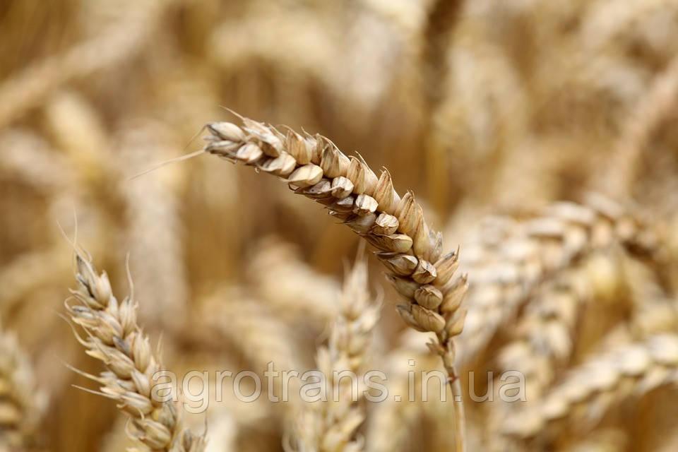 Озимая пшеница ЕРМАК, Элита