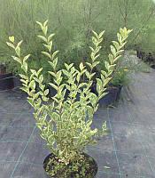 Бирючина овальнолистая Аргентеум  Ligustrum ovalifolium 'Argenteum'