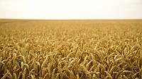 Озимая пшеница СТАНИЧНАЯ, 1 Репродукция