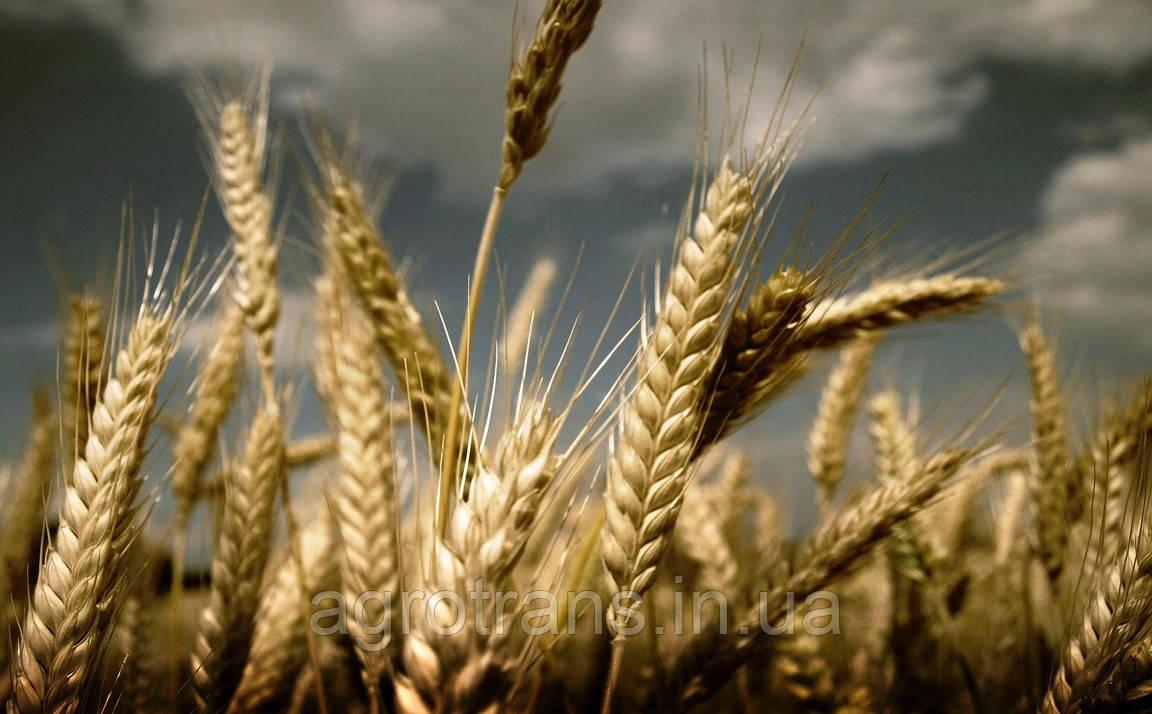 Озимая пшеница БЕЗОСТАЯ 100, Элита
