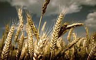 Озимая пшеница БЕЗОСТАЯ 100, 1 Репродукция