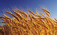Озимая пшеница ЮБИЛЕЙНАЯ 100, Элита