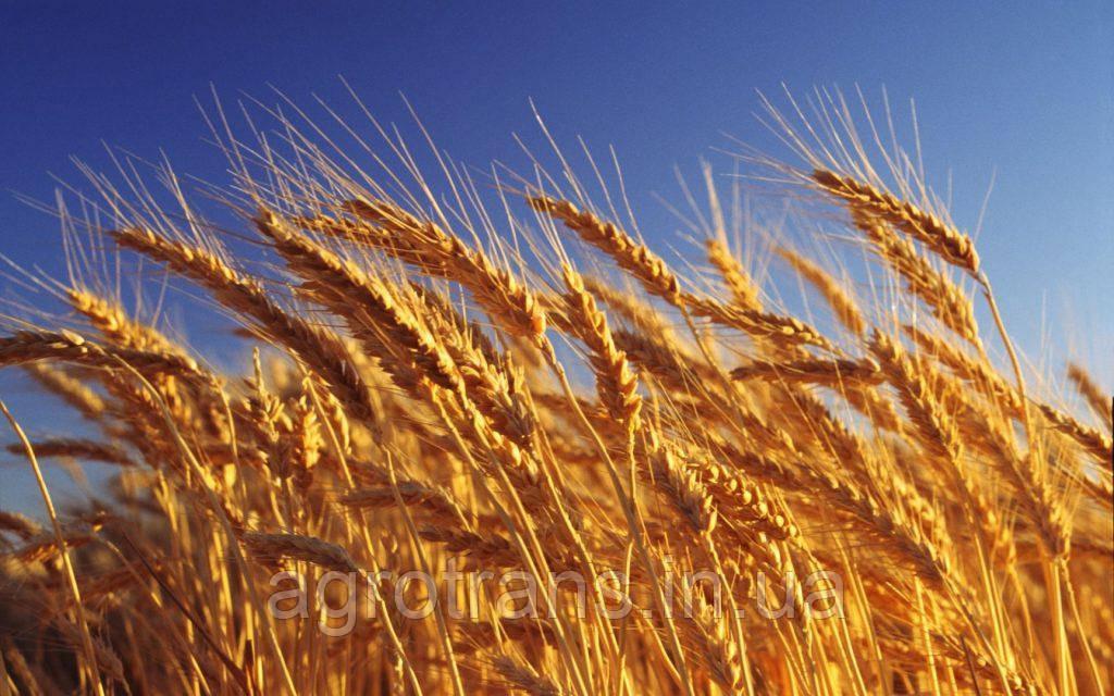 Озимая пшеница ЮБИЛЕЙНАЯ 100, 1 Репродукция