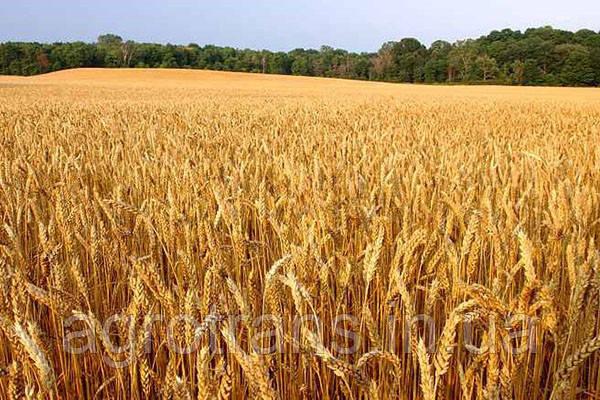Озимая пшеница ЮКА, Элита
