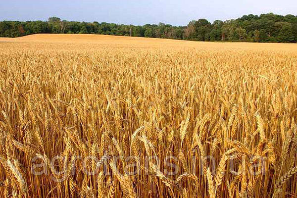 Озимая пшеница ЮКА, 1 Репродукция