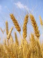 Озимая пшеница АСКЕТ, 1 Репродукция