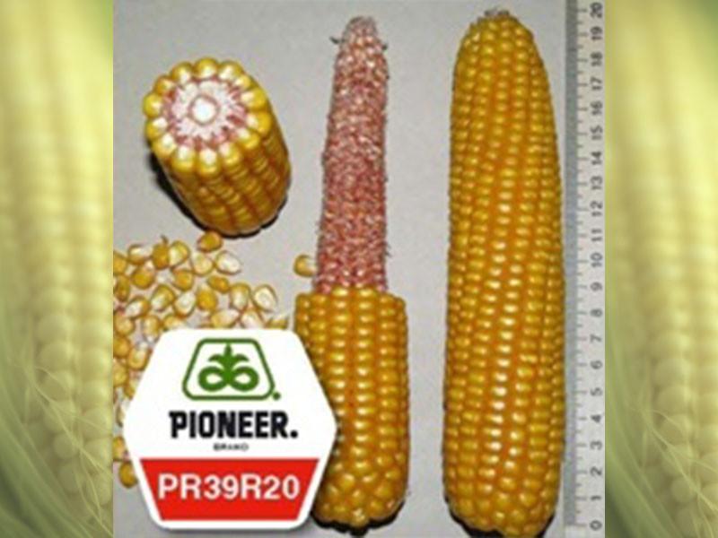 Семена кукурузы PR39R20 Pioneer