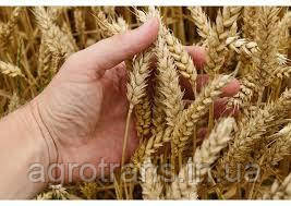 Озимая пшеница ЗЕРНОГРАДКА 11, Элита