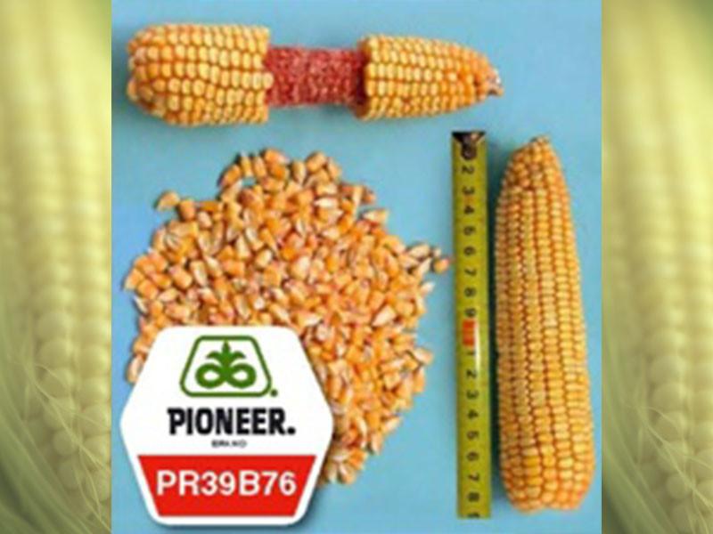 Семена кукурузы PR39В76 Pioneer